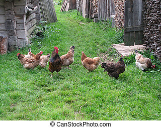 hens - Hens walk in a court yard of the house
