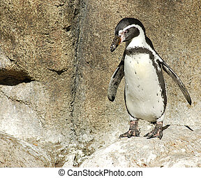 Penguin waddling on the rocks at the Denver Zoo