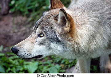 Wolf - A close-up picture of a wild wolf posing sideways
