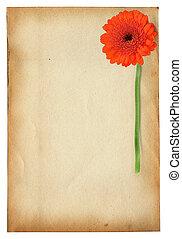 gerbera flower against old paper - gerbera flower against...