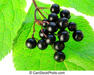 elderberry - Close-up of bunch of black elderberry on white...