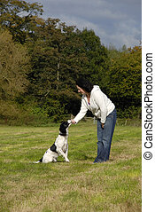 English Springer Spaniel Being Trained - English springer...