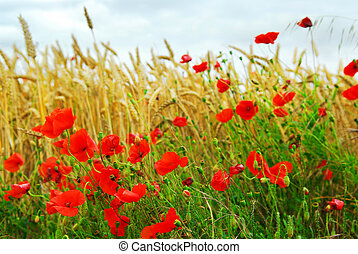 Grain and poppy field - Red poppies growing in a rye field...