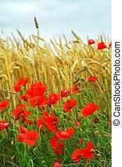 Grain and poppy field - Red poppies growing in a rye field