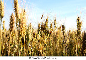 wheat ears close-up in a field