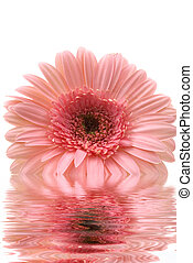Gerbera Daisy - Gerbera daisy with water reflection
