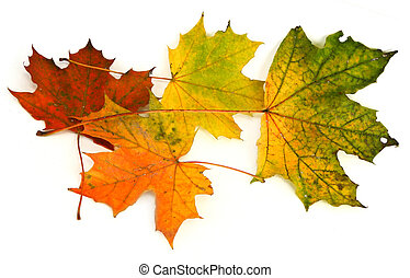 group of maple leaves #2 - group of multicolored maple...