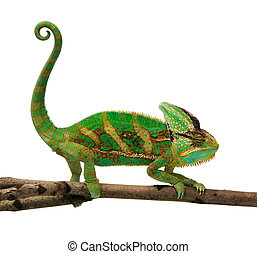 chameleon - isolated chameleon on a branch over white...
