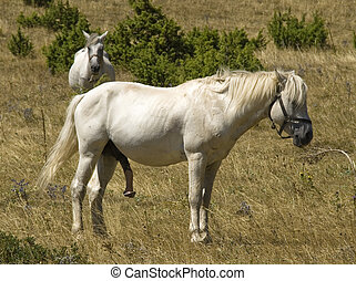 horse - White horse with long penis
