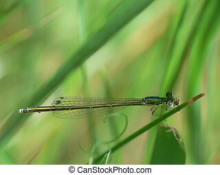 Damsel Fly on blade of grass in Northern Ontario, Canada