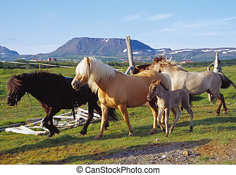 Icelandic Horses in a green pasture