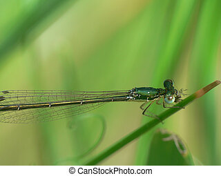Damsel Fly on grass blade in Northern Ontario