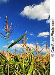 Corn field - Corn growing in a farm field under bright blue...