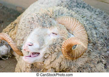 Merino Sheep - Merino sheep lying on the ground