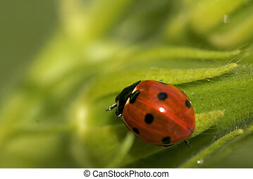 Lady bug - Close up shot of a lady bug on green vegetables