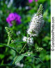 Flowering spearmint