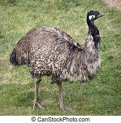 Emu Standing Up - Emu Dromaius Novahollandiae Large birds...
