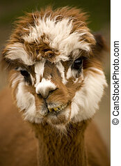 Alpaca Calico Face - Alpaca Brown and white calico face...