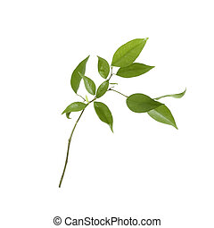 Small tree isolated with green leaves