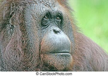 Orangutan - Portrait of a large orangutan