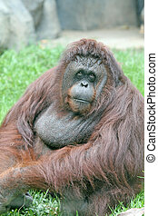 Orangutan - A large orangutan looking thoughtful on the...