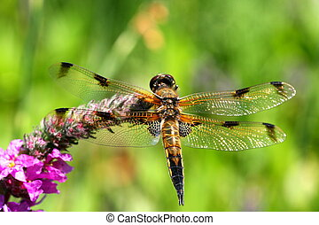 Vierfleck- Libelle - A dragon- fly with the botanical name:...