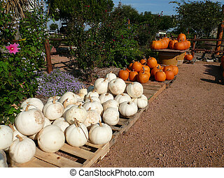 Orange N White Pumpkins - Orange and White Pumpkins for Sale