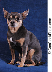 Chihuahua on blue - A chihuahua sitting on a blue background