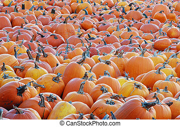 Pumpkin Patch with many different sized pumpkins