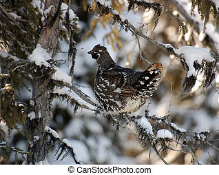 Spruce Grouse - Closeup portrait of a spruce grouse in...