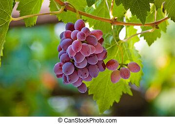 vermelho, uva