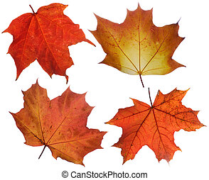 autumn leaves - set of various autumn maple leaves isolated...