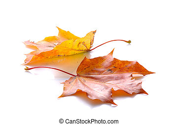 two autumn leaves of maple lying on white