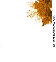 maple - leaf
