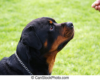 Fixated on Food - A rottweiler stareing at the morsel of...