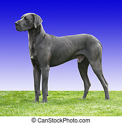 Great Dane - A Great Dane against a blue gradient background...