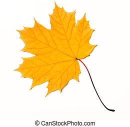 maple leaf - Yellow maple leaf isolated