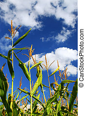 Corn field - Farm field with growing corn under blue sky.