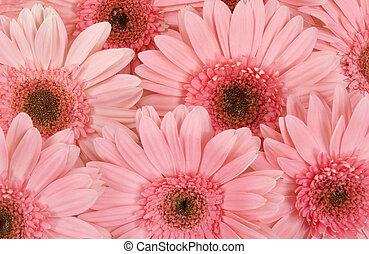 Gerbera Daisies - Gerbera daisy background