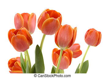 Tulips - Fresh elegant tulips