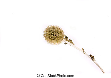 thistle on white backgournd