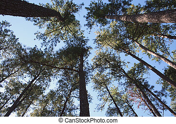 Tall Pine Trees - Several Tall Pine Trees against a blue sky