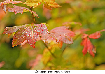 Wet Autumn Leaves - Close up view of wet leaves on a vine...