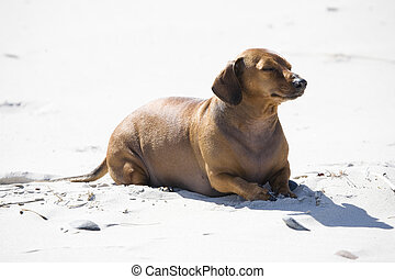 Pirat - dachshund play on the beach in Poland