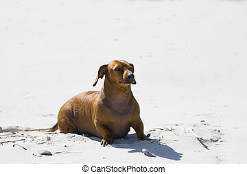 Pirat - dachshund play on the beach in Poland
