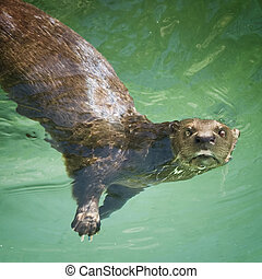 River Otter - River otter on its back in the water looking...