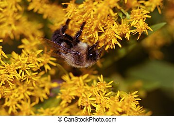 Bumblebee and goldenrod - A bumble bee climbs and crawls...