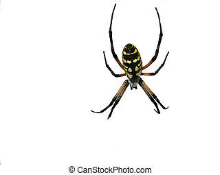 Isolated Spider - Big Black and yellow isolated spider...