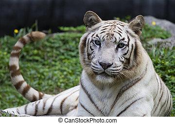 white tiger panthera tigris