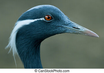 demoiselle crane close up